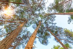 View from below on the crowns of tall perennial pines on background of the blue sky and sun Stock Images