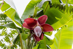View from below of growing bananas or plantains Stock Photos