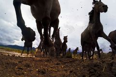 A view from below on the hooves of horses. Running forward horses on the prairies stock photography