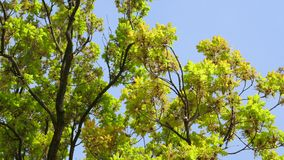 View from below of large oak tree canopy. Early in the spring with beautiful blue sky in the background stock footage