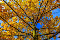 View from Below on Oak Tree Trunk royalty free stock images