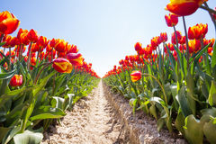 View from below of orange tulips rows in sunshine Royalty Free Stock Photo