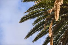 View from below on a palm tree list, against the sky, Lanzarote. Canary Islands Royalty Free Stock Photography