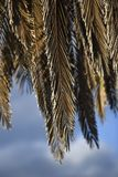 View from below on a palm tree list, against the sky, Lanzarote. Canary Islands Stock Photography