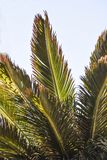 View from below on a palm tree list, against the sky, Lanzarote. Canary Islands Royalty Free Stock Photo