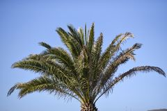 View from below on a palm tree list, against the sky, Lanzarote. Canary Islands Royalty Free Stock Image
