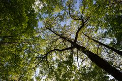 A view from below of some tall trees in spring against a blue sk. Y Royalty Free Stock Photography