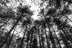 A view from below of some tall trees in a wood in spring against. The sky Stock Photo