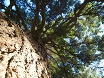 Pine. view from below. Royalty Free Stock Photography