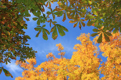 View from below to autumnal chestnut tree crown royalty free stock photography