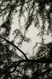 View from below to the branches of large intertwined trees, details of nature intertwined with each other. beautiful nature royalty free stock photography