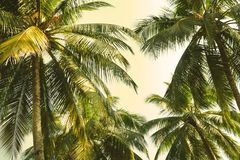 View from below on a tops of coconut palms against the sky background In the sunshine. royalty free stock photo