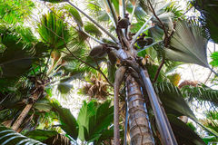 A view from below upwards on the Coco de Mer palm trees. The Vallee De Mai palm forest, Praslin island, Seychelles.  royalty free stock photo