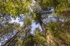 View from below upwards to tree trunks with green leaf crowns ri Stock Images