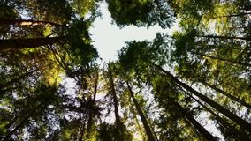 View from below upwards to tree trunks with green leaf crowns rising to the sky. View from below upwards to tree trunks with green leaf crowns rising to the blue stock video