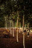 View of a bench in the park. View of a bench in the birch grove Stock Photos