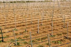 View of the big billet field for grapes. Royalty Free Stock Photography