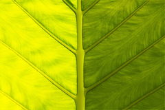 View of big leaf Royalty Free Stock Image