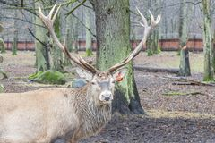 Deer - Bialowieski National Park. Stock Image