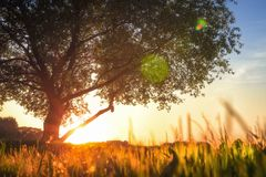 View on big tree in meadow at sunset. grass glows with golden warm sunlight. Under green tree in summer. Place for reflection and dreams. Evening on nature on stock images