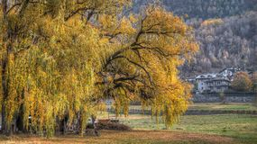 View, big tree, willow weeping in autumn. With background Stock Photo