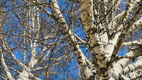 View of birch trees stock video footage