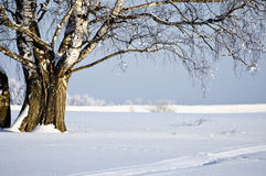View of birch at winter sunny day Stock Photography