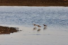 View of  birds in Evros river, Greece. Stock Image