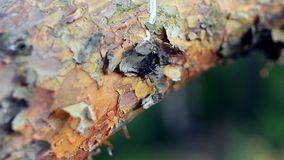 View of black bug with long antenna moving on bark of tree. Summer sunny day. Insect. Nature. Close up stock footage