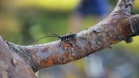View of black bug with long antenna sitting on bark of tree. Summer sunny day. Insect. Nature. Close up stock video
