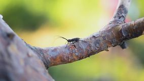 View of black bug with long mustaches sitting on branch of tree. Summer sunny day. Insect. Nature. Close up stock video footage