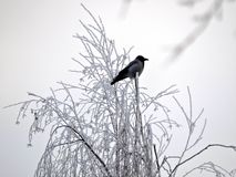 View of blackbird on the frozen branch of tree