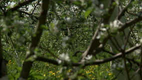 View of blooming apple tree, close-up stock footage