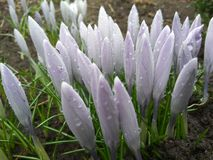View of blooming first spring flowers crocus Stock Images