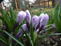 View of blooming first spring flowers crocus Stock Photos