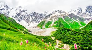View on blooming flower in front of Shkhara Glacier with Shkhara, the highest mountain in Georgia Svaneti, Caucasus royalty free stock images