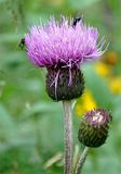 View of blooming purple thistle Royalty Free Stock Photo