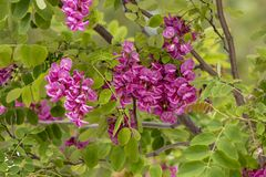 Robinia Purple Robe tree. View of the blooming Robinia Purple Robe tree in the Spring Stock Photos