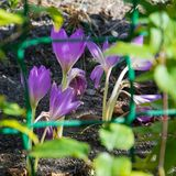 View of blooming spring flowers crocus growing in wildlife. Purple crocus growing. stock photos