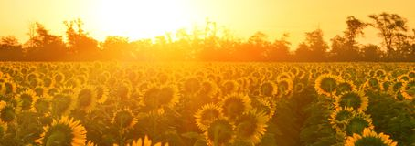 View of blooming sunflower at sunrise. stock photos
