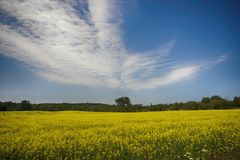 Blooming yellow rapeseed field during the summer in Collingwood, Stock Photo