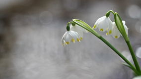 View of bloomings snowdrops in early spring close up stock footage