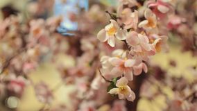 View of blossom Japanese sakura. Beautiful flowers. Blooming. View of blossom Japanese sakura. Flowers. Blooming stock footage
