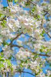 View on blossoming apple tree Stock Photos