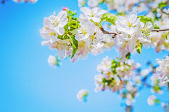 View on blossoming apple tree with bright blue sky Stock Photos