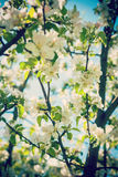 View on blossoming apple tree flovers close up Hipster style ver Royalty Free Stock Image