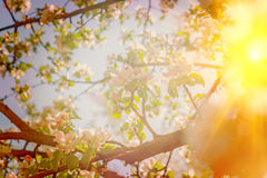View through blossoming cone of appletree with translucent sun i Stock Photo
