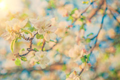 View on blossoming flovers of apple tree instagram colors Stock Photo