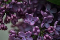 View blossoming Syringa lilac bush in spring. Lilac flowers as a background. Macro lilac flowers in the park stock image