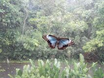 View of a blue morpho butterfly Morpho menelaus in the forest.